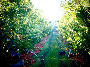 Apple tree row