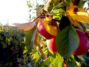 Apples on sunset