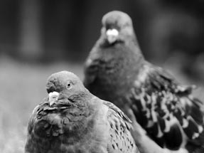 Portrait pigeons b/w