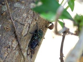 Circade in the tree