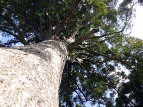 800 year old Kauri