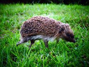 Hedgehog garden