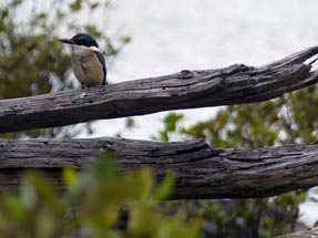 Kingfisher on bench