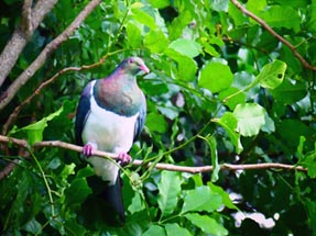 Wood Pigeon Baum