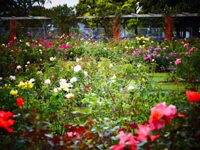 View rose garden