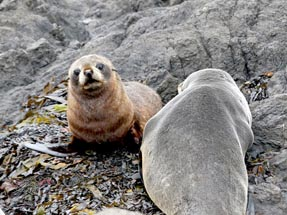 the fur seals are watching us