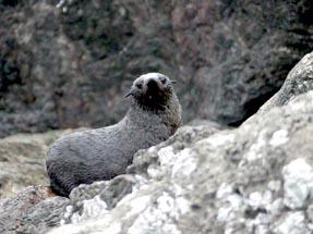 Fur seals at Cape Palliser