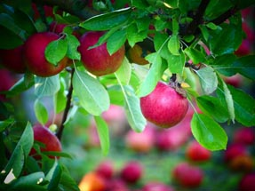 Apples from Hawke's Bay
