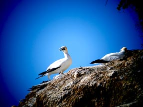 Gannet at Cape Kidnappers