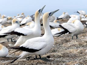 Two gannets are looking for a partner