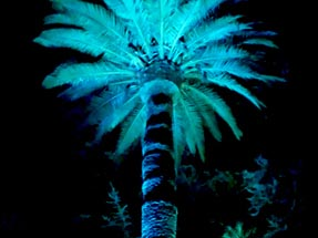 Blue Enlightened palm tree Napier