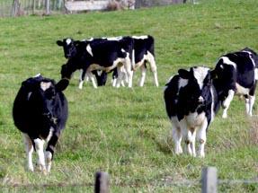 Cows in Wairoa