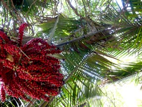 Nikau palm tree Morere