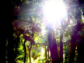 Nikau palm tree sunshine