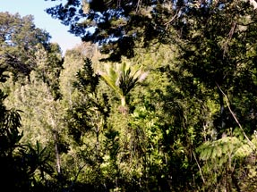 Nikau palm tree walk