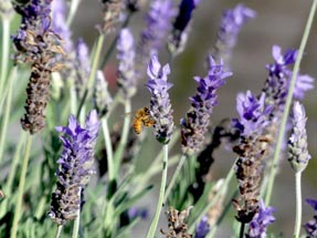 Bee lavender Gisborne