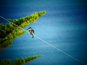 Kingfisher on the line