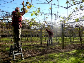 Kiwifruit pruning job