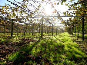 Sunshine kiwi orchard