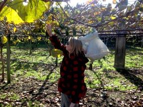 Kiwifruit Pruning