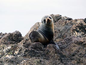 fur seal portrait