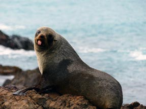 cheeky seal stone