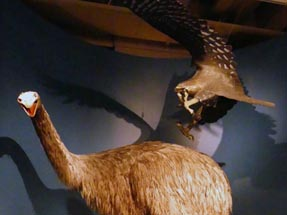 Moa Eagle Bianca