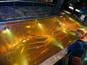 Giant squid Te Papa