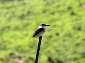 Kingfisher stick