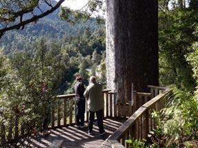 Kauri tree too tall