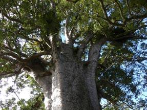Kauri tree giant