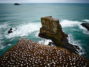 Hundreds gannets