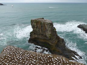 Colony gannets Muriwai