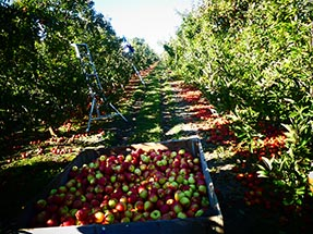 apple harvest box