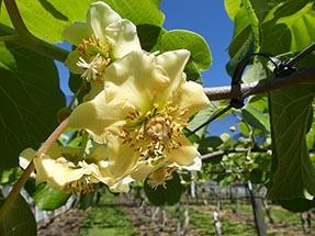 Kiwi blossom