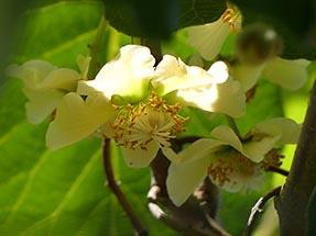 Kiwi blossom smell