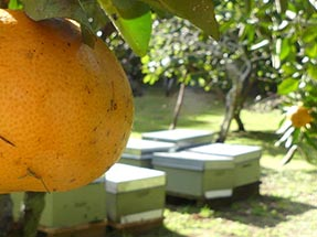 Beehives Grapefruit Aroha