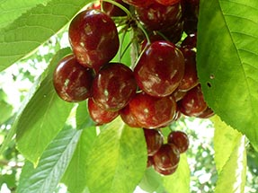 Cherry bundle at the tree