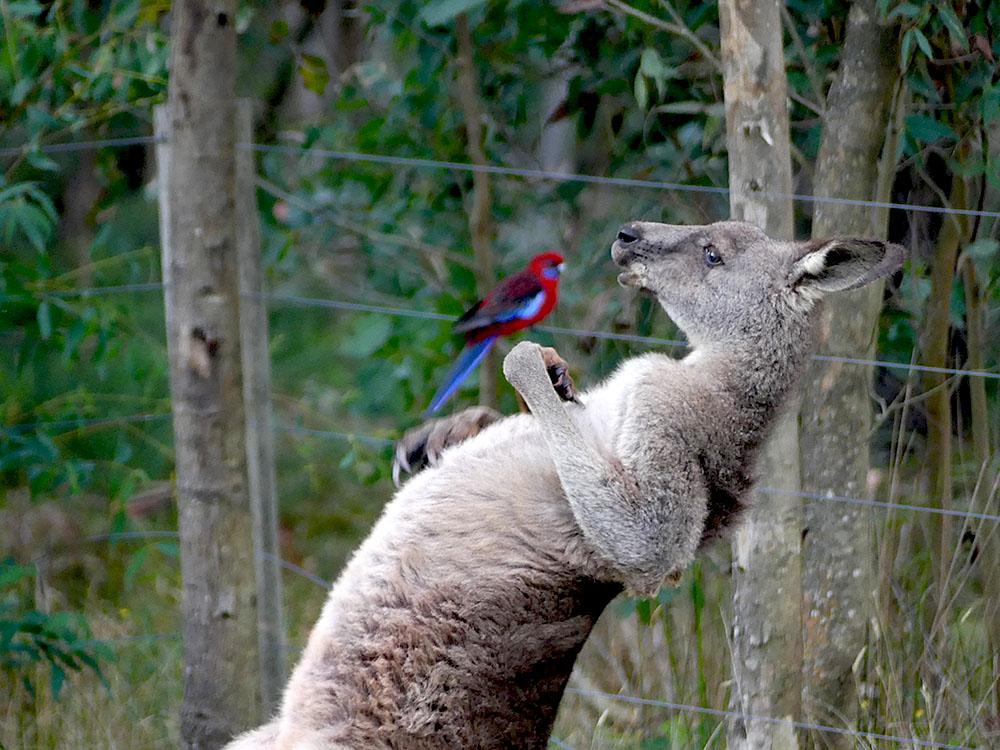 Kangaroo & Rosella
