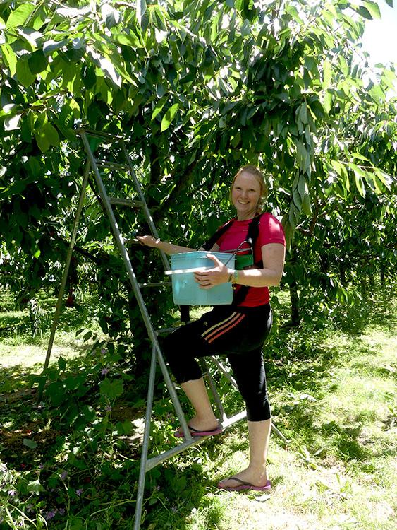 Cherry harvest Cromwell
