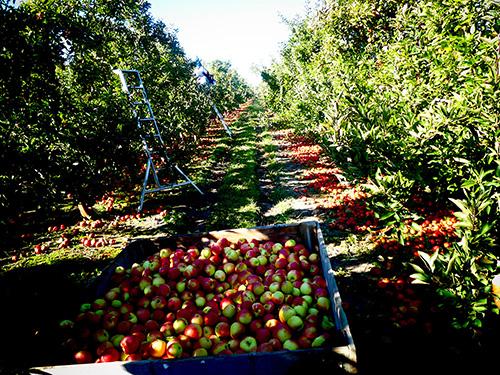 Apple picking in Hastings